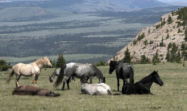 FILE - In this July 16, 2004 file photo provided by the Bureau of Land Management, wild horses are seen on the at the Pryor Mountain National Wild Horse Range in south-central Montana. The attorney for a New Mexico company that has been fighting to open a horse slaughter house says the company is not going to give up despite two lawsuits and Congressional action to block the resumption of domestic horse slaughter with a ban on funding for federal inspections at equine facilities. (AP Photo/Bureau of Land Management, Ann Boucher, File)