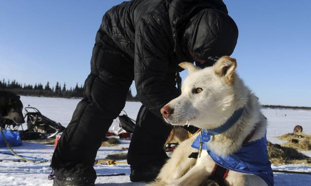 Mitch Seavey works with his dog team after he arrived at the White Mountain checkpoint during the Iditarod Trail Sled Dog Race on Monday, March 10, 2014, in White Mountain, Alaska. (AP Photo/The Anchorage Daily News, Bob Hallinen)
