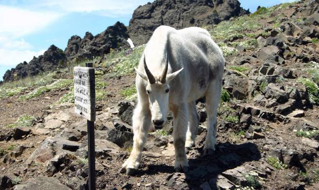 FILE - In this July, 2008 file photo, one of some 300 mountain goats in Olympic National Park faces a photographer on the Switchback Trail after park officials first warned of aggressive goats in the Klahhane-Hurricane Ridge-Switchback Trail area near Port Angeles, Wash. Four years after a mountain goat fatally gored Robert Boardman as he was hiking in Olympic National Park, officials are looking at ways to manage mountain goats to protect public safety and the environment. The National Park Service is evaluating different approaches, including capturing and relocating the goats to the Washington Cascades, increasing hazing activities, killing them, doing nothing, or some combination of options. Boardman, 63, of Port Angeles, was fatally attacked in October, 2010 by a 370-pound mountain goat on a popular trail in Olympic National Park, about 75 miles west of Seattle. He was trying to protect his wife and a friend when the goat gored him, severing arteries in his thigh.  (AP Photo/Peninsula Daily News, Diane Urbani de la Paz, File)