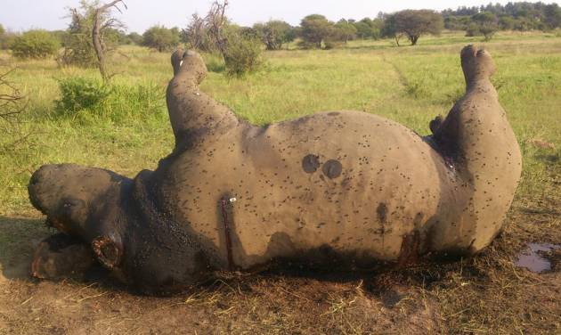 In this photo taken Friday April 18, 2014 and supplied by the Dinokeng Game Reserve, the corpse of a poached rhino lays on the ground in the Game Reserve alongside Hammanskraal, South Africa. The rhino is one of about 300 to be killed so far this year in South Africa in a surge of poacher activity linked to rising demand for rhino horn in Vietnam and China, where some view it as a status symbol or a cure for serious illness, despite no evidence that the horn is an effective medicine. (AP Photo/Piet Venter-Dinokeng Game Reserve)