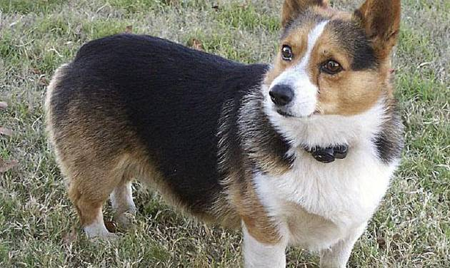 Right: Squiggy, a Welsh corgi, was found dead at a housing addition in Harrah. PHOTO PROVIDED BY SONJA MALASKE