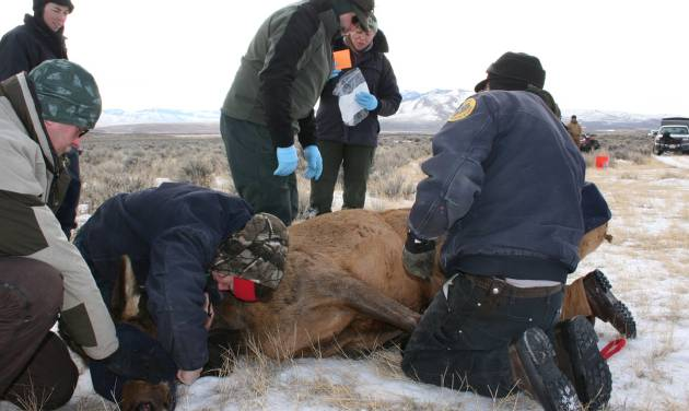 This Jan. 2012 photo provided by the Montana Fish, Wildlife and Parks department shows agency workers testing a captured elk for the animal disease brucellosis south of Bannack, Mont. State wildlife officials are considering a plan to curb the disease around Yellowstone National Park by reducing the size of some elk herds, hazing them away from livestock and building elk-proof fences. (AP Photo/Montana Fish, Wildlife and Parks)