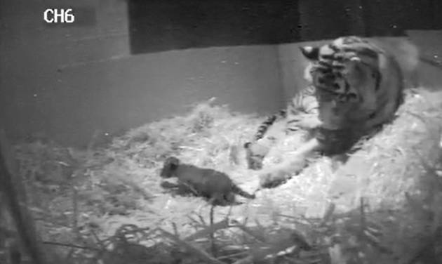 FILE- In this file image from video taken Sunday Sept 22, 2013 and made available by London Zoo of  the first tiger cub for 17 years to be  born at the zoo. A rare Sumatran tiger cub has died at the London Zoo three weeks after its birth was recorded by a hidden camera. Zoo officials said Tuesday, Oct. 15, 2013 that the cub drowned at the edge of a pool inside the tigers' enclosure. The cub was born on Sept. 22 and died on Saturday. It had not been named and officials said its gender had not been determined. (AP Photo/ London Zoo, File)