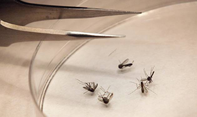 FILE - In this Aug. 16, 2012, file photo, mosquitos are sorted at the Dallas County mosquito lab in Dallas. Infectious diseases that used to be unknown in Oklahoma are now a threat to the health of its residents as maladies such as the West Nile virus, chikungunya virus and Heartland virus spread around the globe. (AP Photo/LM Otero, File)