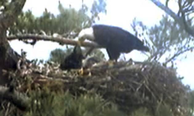 This still image from streaming online video provided by Biodiversity Research Institute shows an adult bald eagle, center, feeding a young eaglet Wednesday afternoon, June 25, 2014 in a nest at an undisclosed location along coastal Maine. Webcast viewers saw another eaglet in the nest die over the weekend, when it seemed the parents had abandoned the nest. Erynn Call, state raptor specialist, said the death was a common occurrence in nature and is representative of what happens in other nests. She said it is the state's policy not to intervene. (AP Photo/Biodiversity Research Institute)
