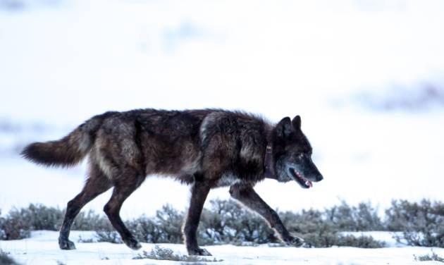 "This 2013 photo provided by Horsefeathers Photography shows a black wolf wearing a VHF radio collar that identifies it as Wolf  ""831F,"" a member of the Yellowstone National Park 's Canyon pack, in Swan Lake, Mont. Big game outfitter William Hoppe shot and killed this female wolf near where 13 sheep were killed in April. Leaders of a wolf advocacy group said Hoppe is intentionally luring the animals by leaving dead sheep carcasses in a pile. (AP Photo/Horsefeathers Photography, Brad Orsted)"