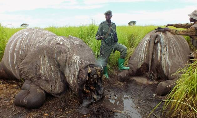 In this photo taken on Wednesday, May 21, 2014, Park ranges stand next to the remains of elephants that were killed by poachers in the Garamba National Park, situated in the Democratic Republic of Congo. At least 68 elephants, some 4 percent of the population of one of Africa's oldest parks, have been slaughtered by poachers over the last two months using chain saws and helicopters, warned the non-profit group managing the park. The Johannesburg-based African Parks group said that since mid-May, the 5,000 square kilometer (1,900 square mile) Garamba National Park established in 1938 has faced an onslaught from several different bands of poachers. (AP Photo/African Parks)