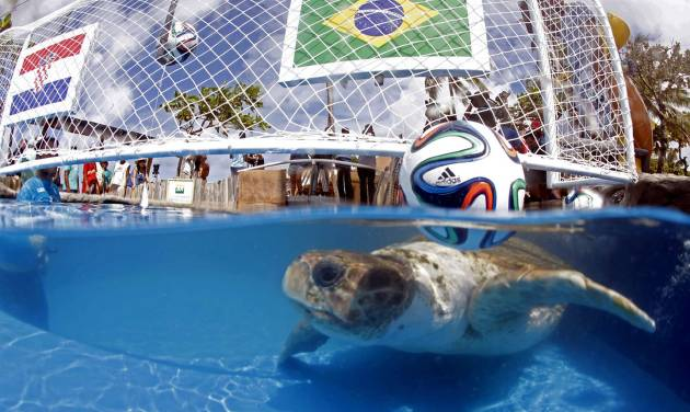 """A turtle named """"Cabecao,"""" or Big Head, swims in a pool in Praia do Forte, Brazil, Tuesday, June 10, 2014. The turtle, Brazil's answer to German octopus Paul who started the psychic animal craze during the 2010 World Cup, predicted Tuesday that the host nation will beat Croatia in the opening game of the World Cup on Thursday. (AP Photo/Lucio Tavora, Agencia A Tarde)"""
