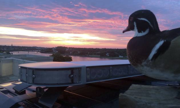"""In this July 6, 2014, photo released by the Bangor Police Department, the department's stuffed """"duck of justice"""" greets the sunrise from atop a police cruiser in Bangor, Maine. The mascot, a wood duck that had been stuffed by a taxidermist and rescued from a trash compactor, has attracted more than 20,000 likes on its departmental Facebook page, and is being used as a new way of engaging with the public. (AP Photo/Bangor Police Department)"""
