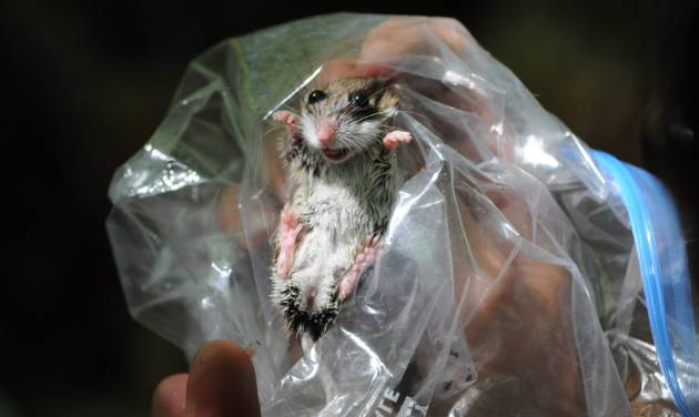 This June 18, 2010 photo shows a deer mouse during a biological survey at Follenby Pond near Tupper Lake, N.Y. The hantavirus disease is carried in the feces, urine and saliva of deer mice and other rodents, and carried on airborne particles and dust. Michael Vaughan, a research associate professor in mineral physics at Stony Brook University on Long Island, has since recovered from symptoms of the virus after being bitten by a rodent during a hiking trip in the Adirondacks. (AP Photo/Adirondack Daily Enterprise, Mike Lynch)