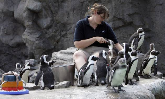 FILE - In this July 2, 2008 file photo, Erin Lovin feeds the African black footed penguins at the Mystic Aquarium Institute for Exploration in Mystic, Conn. A new tourism effort, in May 2013, highlights areas in the southern New England states of Connecticut, Massachusetts and Rhode Island.  (AP Photo/Bob Child, File)