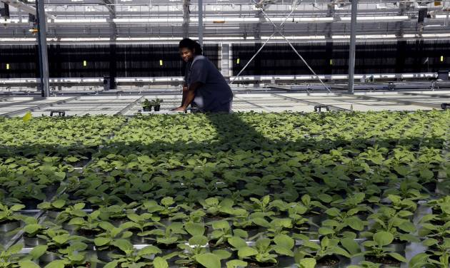 In this Aug. 14, 2014 photo, biotech greenhouse associate specialist Derek Haynes replaces tobacco plants in the greenhouse following examination at Medicago USA, Inc. in Research Triangle Park, N.C. Through its plant-based technology, the facility is capable of producing millions of doses of vaccines. (AP Photo/Gerry Broome)