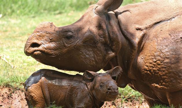 A newborn Indian rhinoceros stands with his mother, Niki, in a mud wallow at the Oklahoma City Zoo. The as yet unnamed rhino was born at 5:20 p.m. at the zoo June 21. The male calf is the fourth Indian rhino born at the zoo since the zoo added the species in 1981, but the first offspring for 7-year-old Niki. AP Photo   Sue Ogrocki -  AP