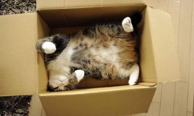 In this June 2011 photo provided by mugumogu, Scottish fold Maru rests in a cardboard box in Japan. After years of viral YouTube viewing and millions of shares, the cat stars of the Internet are coming into their own in lucrative and altruistic ways. Roly poly Maru, the megastar in Japan with millions of views for nearly 300 videos since 2007, has three books and a calendar, among other swag for sale. (AP Photo/mugumogu)