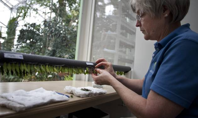 Lucy Grover, lead indoor horticulturalist hangs cocoons so they can hatch into butterflies Friday, Feb. 15, 2013 at Frederik Meijer Gardens and Sculpture park in Grand Rapids, Mich. The 18th annual Butterflies are Blooming exhibit opens March 1.  (AP Photo/The Grand Rapids Press,Sally Finneran ) ALL LOCAL TV OUT; LOCAL TV INTERNET OUT