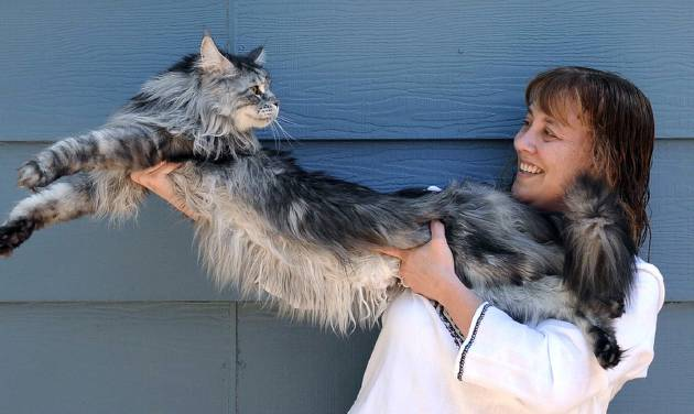 CORRECTS NAME TO HENDRICKSON, NOT HENDERSON - FILE - In this file photo taken July 1, 2009, Robin Hendrickson stretches out her Maine Coon cat Stewie outside of her home in Reno, Nev. The Reno owner of the longest domestic cat in the world says Stewie died Monday, Feb. 4, 2013 after a yearlong battle with cancer.  Guinness World Records declared Stewie the record-holder in August 2010, measuring 48.5 inches from the tip of his nose to the tip of his tail. (AP Photo/Reno Gazette-Journal, Andy Barron)