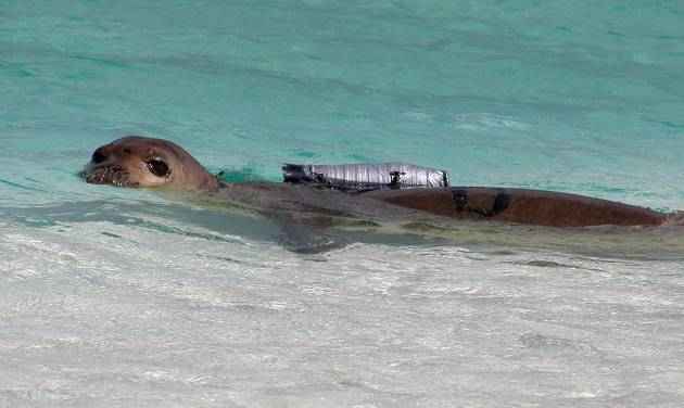 FILE- This 2002, file photo, provided by the National Marine Fisheries Service shows a juvenile Hawaiian monk seal with a camera strapped to its back at French Frigate Shoals, Hawaii, one of the outermost islands in the Hawaiian island chain. The agency plans to glue underwater cameras smaller than the one pictured to the backs of seals in the main Hawaiian Islands to prove to fishermen the animals aren't harming their way of life. (AP Photo/National Marine Fisheries Service, File)