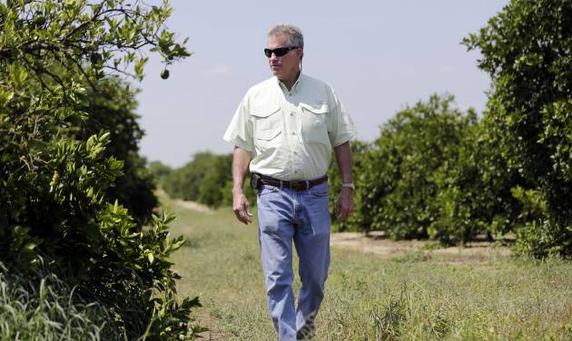 "In this Wednesday, July 30, 2014 photo, Ellis Hunt Jr., 61, walks past an orange tree, left, which is affected by a disease called ""greening"",  in Lake Wales, Fla. The Hunt  family owns 5,000-plus acres of groves and is part of the co-op that contributes to Florida's Natural, the third largest juice brand in the country. Florida's $9 billion citrus industry is facing its biggest threat yet by a tiny invasive bug called the Asian Citrus Psyllid, which carries bacteria that are left behind when the psyllid feeds on a citrus tree's leaves.  (AP Photo/Lynne Sladky)"