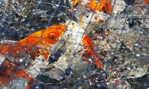 Koi swim to the surface of the water as they are fed by Conrad Kleinholz at the Kleinholz Koi Farm in Stillwater on Wednesday. Photo by K.T. King, The Oklahoman   KT King
