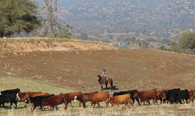 In this photo taken on Nov. 26, 2012 near Friant, Calif., cattle manager Logan Page pushes cattle grazing on the Finegold Creek Preserve toward another pasture. The preserve is owned by the Sierra Foothill Conservancy, a Fresno-area land trust that's raising its own beef herd to benefit the environment and to improve its bottom line. (AP Photo/Gosia Wozniacka)