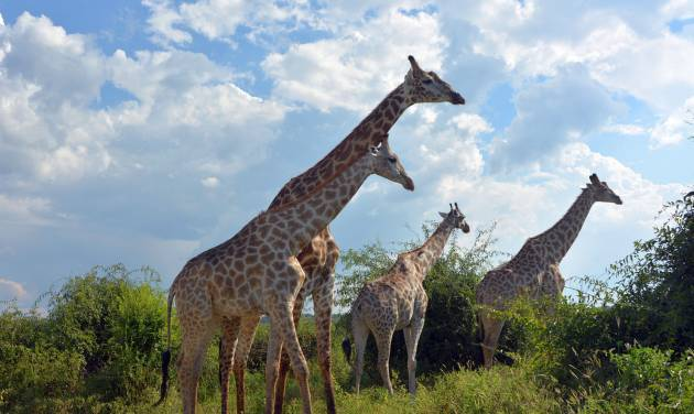 This March 3, 2013 photo shows giraffes in the Chobe National Park in Botswana. Safaris in this rich game-viewing destination offer up-close views of giraffes and many other animals, including lions, elephants and hippos. (AP Photo/Charmaine Noronha)