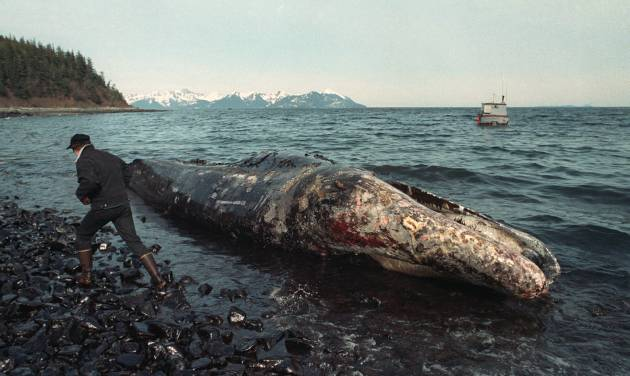 In this photo taken April 9, 1989 file photo, a local fisherman inspects a dead California gray whale on the northern shore of Latouche Island, Alaska.  The whale was found over the weekend in the oil-contaminated waters of Prince William Sound. Wildlife experts later determined that the whale had died before the Exxon Valdez oil spill occurred on March 24.  Nearly 25 years after the Exxon Valdez oil spill off the coast of Alaska, some damage heals, some effects linger in Prince William Sound. (AP Photo/John Gaps III, File)
