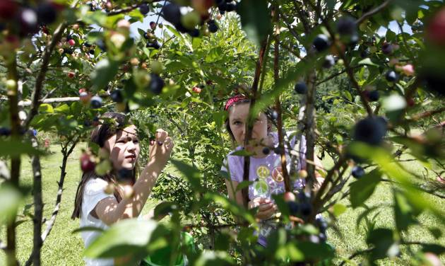 In this Wednesday, July 17, 2013 photo, Meredith James, 7, left, and her sister Grace Katherine James, 9, look for ripe blueberries in the pick-your-own field at Foxbrier Farm, in Chattahoochee Hill Country, Ga. While Georgia is officially known as the Peach State, blueberry production has eclipsed the state's production of peaches. Federal surveys show the value of Georgia's blueberry production surpassed that of peaches in 2005, and the gap continues to grow. (AP Photo/Jaime Henry-White)