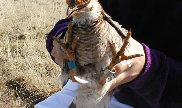 A lesser prairie chicken is equipped with identifying leg bands and a radio transmitter as part of a research project.  Photo Provided