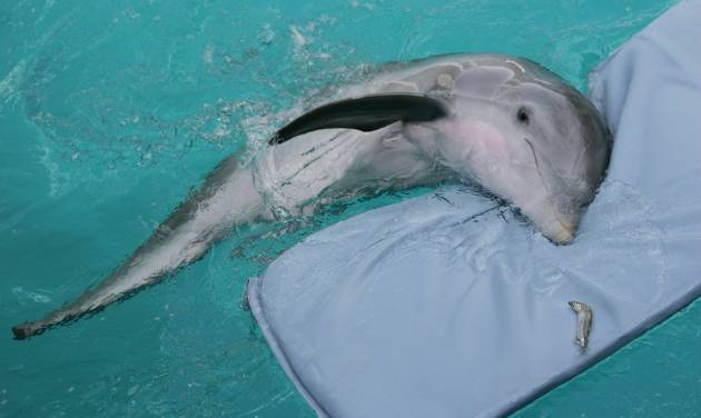 """FILE - In this July 26, 2007 file photo, Winter,  a tailless dolphin, rests on her mat at the Clearwater Marine Aquarium in Clearwater, Fla. The Clearwater Marine Aquarium was heavily featured in the 2011 film """"Dolphin Tale,"""" which told a fictionalized account of Winter the dolphin. The film reached audiences world wide and brought thousands of visitors to the aquarium.  The aquarium's story is one that Film Florida, a lobbying group for the state's entertainment industry, pushed recently when a delegation of filmmakers and others met with lawmakers in Tallahassee about extending the state's incentive program for luring movie and TV production. (AP Photo/Chris O'Meara, File)"""