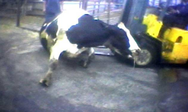 """FILE - In this April 22, 2010 file image from video provided by the United States Humane Society, a Hallmark Meat Packing slaughter plant worker is shown attempting to force a """"downed"""" cow onto its feet by ramming it with the blades of a forklift in Chino, Calif. The yearslong battle between farm organizations and animal rights activists over laws prohibiting secretly filmed documentation of animal abuse is moving to federal courts as ag-gag laws in Utah and Idaho face constitutional challenges. Opponents of the law point to the Chino video and the investigation that followed, which led to the largest meat recall in U.S. history, saying the secrecy puts consumers at higher risk of food safety problems and animals at higher risk of abuse. (AP Photo/Humane Society of the United States, File)"""