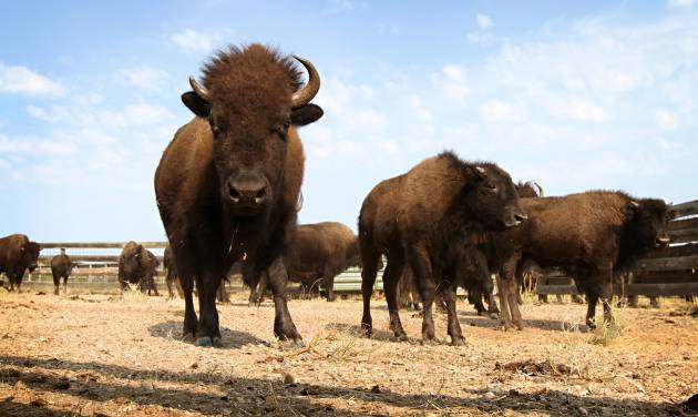 Buffalo gather in Custer State Park on Sunday, Sept. 23, 2012, the day before nearly 1,300 buffalo are to be corralled by about 60 men and women on horseback at the 47th annual Buffalo Roundup in western South Dakota. More than 12,000 spectators were expected to descend on the area for the Monday herding. (AP Photo/Amber Hunt)