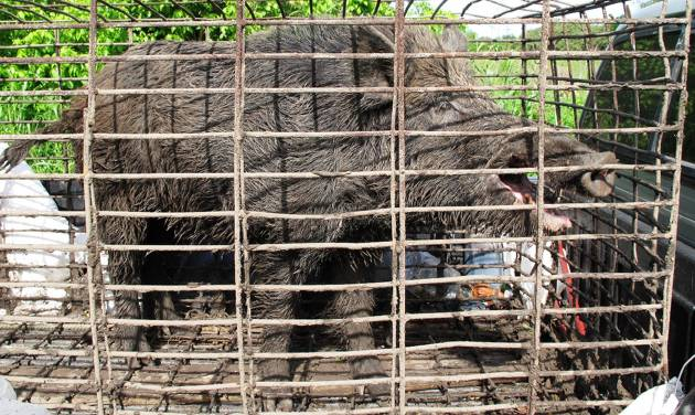 In this April 30, 2012 photo provided by trapperjohnschmidt.com, a feral hog caught by trapper John Schmidt is caged in New Orleans. An estimated 5 million swine, descendants of both escaped domestic pigs and wild Eurasian boars imported by hunters, do about $800 million in damage a year to farms nationwide. Damage outside farms and population control bring the annual total to $1.5 billion. (AP Photo/trapperjohnschmidt.com, John Schmidt)