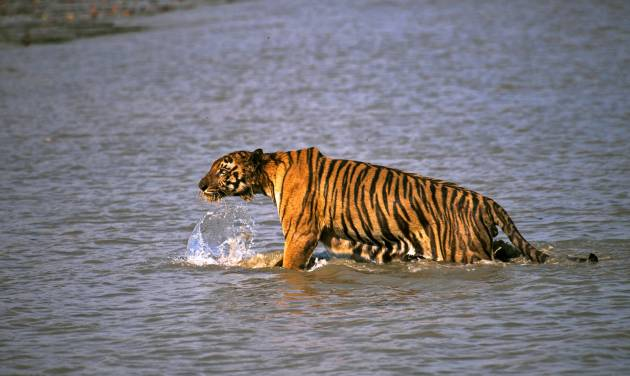 In this Saturday, April 26, 2014, photo, a Royal Bengal tiger prowls in Sunderbans, at the Sunderban delta, about 130 kilometers (81 miles) south of Calcutta, India. An Indian fisherman says a tiger has snatched a man off a fishing boat and dragged him away into a mangrove swamp. (AP Photo/Joydip Kundu)