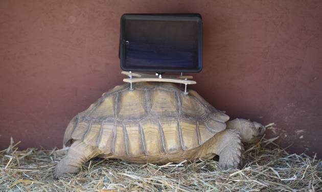 This Aug. 2, 2014 photo shows a tortoise with an iPad mounted on its back. A group of protesters are objecting to Aspen Art Museum officials who plan to place iPads on tortoises during an art exhibition this weekend. The stunt is planned as a part of the 24-hour public opening of the new art museum on Saturday. The debut show on the rooftop sculpture garden, put together by artist Cai Guo-Qiang, features tortoises wandering around the space with iPads attached to their shells with specially designed mounts. The iPads will be showing footage of abandoned ghost-town cabins from around the valley, images that were previously recorded with the devices while they were attached to the tortoises' shells. (AP Photo/The Denver Post, Kathryn Scott Osler)