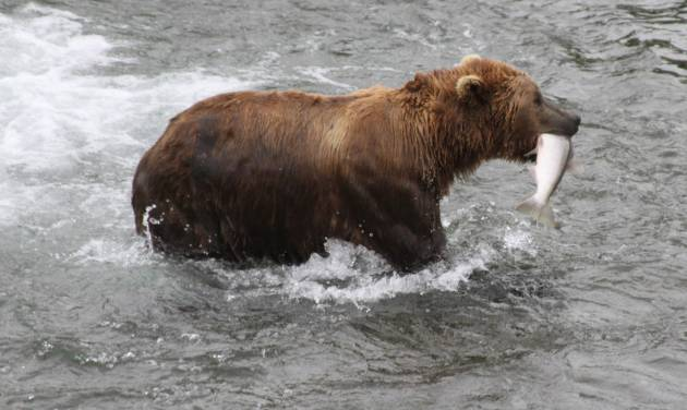 FILE - A brown bear walks to a sandbar to eat a salmon it had just caught at Brooks Falls in Katmai National Park and Preserve, Alaska on July 4, 2013. (AP File Photo/Mark Thiessen)