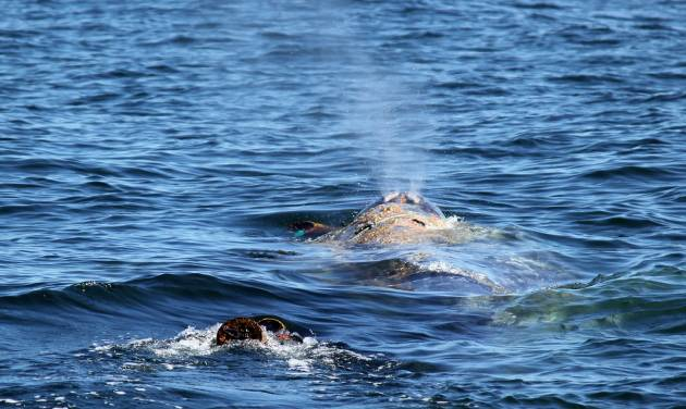 This image provided April 17, 2012, by Capt. Daveís Dolphin and Whale Safari shows a gray whale entangled in netting in the waters off the coast of Southern California April 17, 2012. Federal wildlife officials say that a whale tangled in a large fishing line that went missing during previous rescue attempts has been freed by a fisherman. National Oceanic and Atmospheric Administration spokesman Jim Milbury says that a crabbing boat's captain and crew spotted the gray whale in the ocean off Bodega Bay on Thursday. Captain Mark Anello and his crew spent 90 minutes working to free the 40-ton mammal. (AP Photo/Capt. Daveís Dolphin and Whale Safari, file)