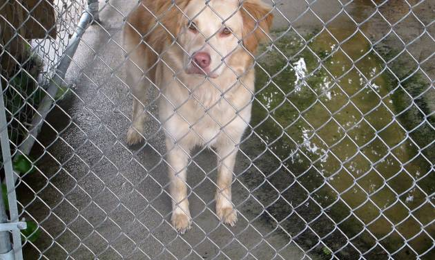 A dog authorities say mauled and killed a 2-month old child stands in a holding pen behind the Dorchester County Sheriff's Department in Summerville, S.C., on Friday, April 20, 2012. The mother of the child called 911 when she got home around 11 a.m. and discovered the boy's leg was severed by a retriever mix the family had taken into the home a few weeks earlier, Dorchester County deputies said. (AP Photo/Bruce Smith)