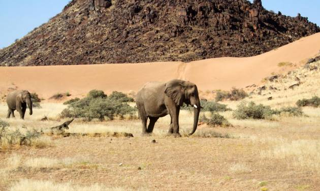This June 17, 2014 photo shows elephants roaming in Torra Conservancy in Namibia. Namibia's conservancies give local communities a stake in conservation and development across the country, and a community in northwest Namibia formed a joint venture with a safari company to own and run Damaraland Camp in the Torra Conservancy. (AP Photo/Donna Bryson)