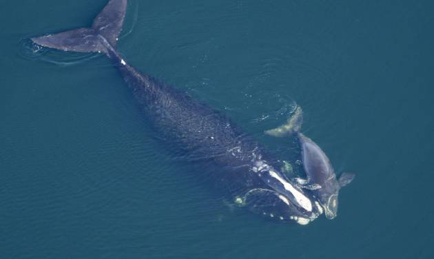 In this Feb. 2009 photo provided by the New England Aquarium, a North Atlantic right whale swims with her calf in the Atlantic Ocean off the coast of the United States near the border between Florida and Georgia. The Obama Administration is opening the Eastern Seaboard to offshore oil exploration for the first time in decades. The announcement made Friday, July 18, 2014, also approved the use of sonic cannons to map the ocean floor identifying new oil and gas deposits in federal waters from Florida to Delaware. The sonic cannons pose real dangers for whales, fish and sea turtles.(AP Photo/New England Aquarium) ** NO SALES **