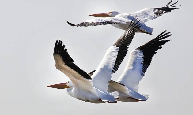 White pelicans take flight at Lake Overholser in Oklahoma City on Monday. A flock of pelicans rest at the lake during their migration to the Gulf Coast. Pelicans are annually spotted by bird watchers during Oklahoma City's annual Christmas Bird Count. PHOTO BY STEVE GOOCH, THE OKLAHOMAN  Steve Gooch
