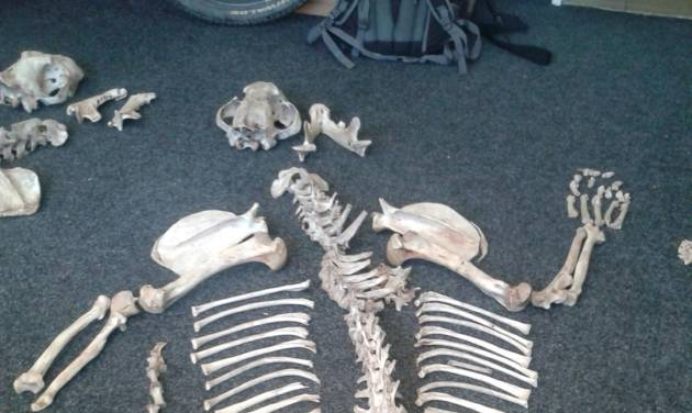 In this handout picture taken by a custom officer on  June 28, 2013 in Prague, Czech Republic a skeleton of a Tiger  is on display  on ground. Officials say customs authorities have seized the skeletons of two endangered tigers at Prague's Vaclav Havel Airport that were meant for the black market in the Far East. Customs Office spokeswoman Sarka Miskovska says a sniffer dog found the skeletons hidden in two loudspeakers during a routine check June 26. Miskovska declined to give further details Thursday July 11, 2013, citing an ongoing investigation. She says the Czech Environmental Inspectorate is working to determine where the tigers come from.  .(AP Photo/HO/Custom Office)