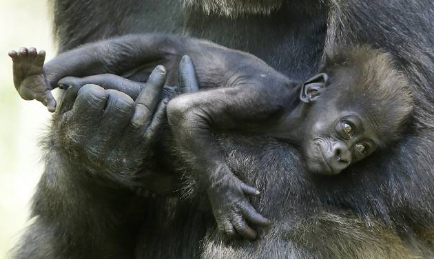 Kelele, a western lowland gorilla, holds her two and a half month old baby, Leom, at the Oklahoma City Zoo, Tuesday April 30, 2013. Leom was born in February on Valentine's Day. Photo By Steve Gooch, The Oklahoman