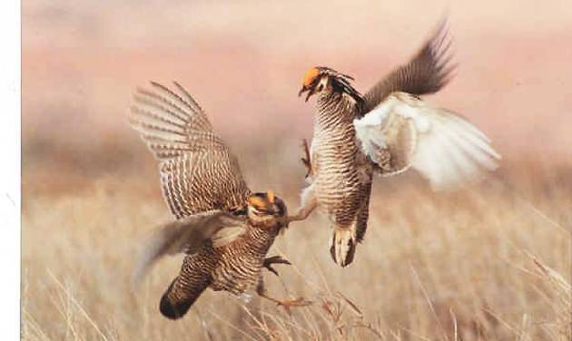 Male prairie chickens start fighting to try and impress a hen. Birders from across the country and Canada are in northwest Oklahoma this weekend to watch the annual courtship rituals of the lesser prairie chicken.  Photo provided by Larry Brown