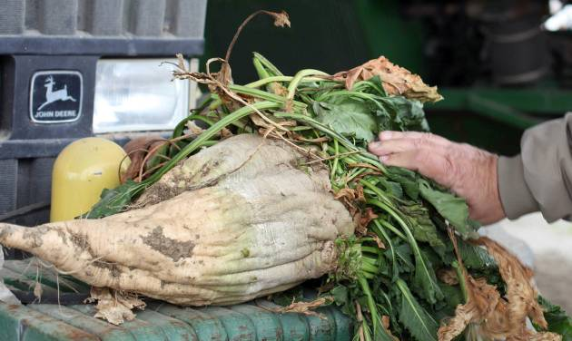 In this March 6, 2013 photo, a mature sugar beet is shown, in Tranquility, Calif. Farmers in central California hope to build the nation's first commercial-scale bio-refinery in nearby Mendota, Calif., to turn beets into biofuel. Europe already has more than a dozen such plants, but most ethanol in the United States is made from corn. (AP Photo/Gosia Wozniacka)