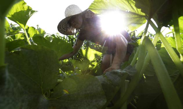 In this Tuesday, Aug. 5, 2014 photo, farmer Katie Miller, 32, of Providence, R.I., harvests zephyr squash at Scratch Farm in Cranston, R.I. Across New England, the number of farms grew by 5 percent since 2007, contrary to the national trend. (AP Photo/Steven Senne)