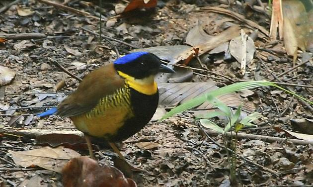 This March 20, 2007 photo provided by Ian Fulton shows the Gurney's Pitta bird foraging in the leaf litter at the Khao Nor Chuchi wildlife preserve in southern Thailand. In neighboring Myanmar, as many as 40,000 gorgeously plumed birds thrive in the lowland rainforests. The bird's status is among many reasons Myanmar is regarded as one of Asia's last bastions of biodiversity, and why environmentalists view the country's steps toward opening its doors with some fear. (AP Photo/Ian Fulton)