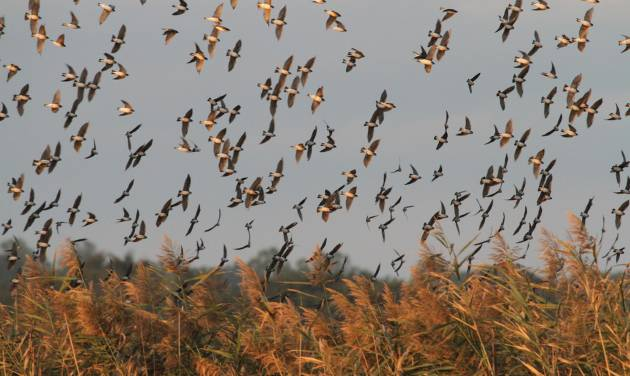 In this undated photo provided by RiverQuest, tree swallows fill the sky over the Connecticut River near Haddam, Conn. RiverQuest runs boat tours to see the autumn ritual that draws thousands of birds to the river nightly from late August to early October. (AP Photo/RiverQuest, Mark Yuknat)