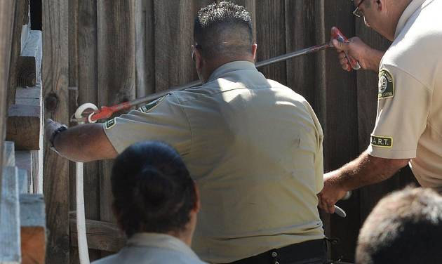 Lt. Fred Agoopi, right, from the Los Angeles County Animal Care & Control, captures a venomous albino monocled cobra in Thousand Oaks, Calif., Thursday, Sept. 4, 2014. The snake was discovered missing on Monday in the 1300 block of Rancho Lane and now found behind a wood shed on Rancho Rd. (AP Photo/Ventura County Star, Chuck Kirman)