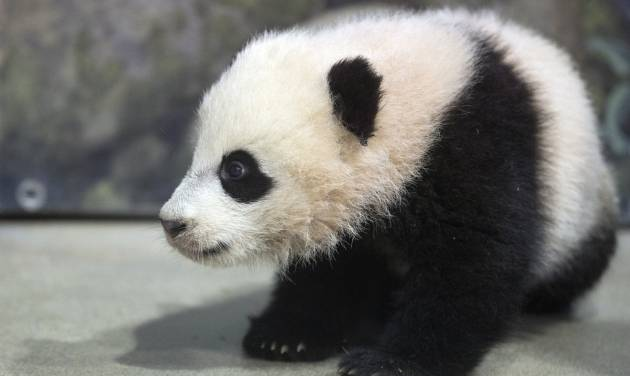File-This Jan. 7, 2014, file photo shows Bao Bao, the four and a half month old giant panda cub sitting in her indoor habitat at the Smithsonian's National Zoo in Washington.  The National Zoo in Washington has extended its hours this weekend for the giant panda house as Bao Bao (bow bow) makes her public debut. Saturday was the first chance for the public to see the 5-month-old cub. The zoo says the panda house will be open from 8 a.m. to 4:30 p.m. Saturday, Sunday and Monday. Visitors are allowed into the building in small groups to avoid overcrowding. (AP Photo/Charles Dharapak, File)