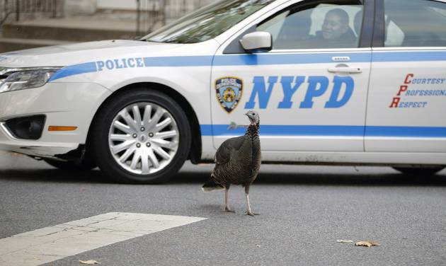 A police officer gently eases her patrol car through an intersection in Staten Island, Monday, Nov. 11, 2013, in New York in a neighborhood where a large population of feral turkeys have established residence. The roving turkeys have become a mess-making, traffic-stopping scourge to some residents, an unexpected bit of makeshift nature to others and a fraught project for government officials. Since dozens of the turkeys were rounded up and killed this summer, the birds' future has become as a topic as heated as a Thanksgiving meat thermometer. (AP Photo/Kathy Willens)